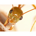 Macro ant insect insect faceted eyes