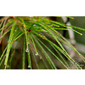 macro plant raindrop on pine needle