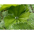 leaf ladysmantle droplets green garden nature summer