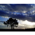 lone tree woodbury common devon