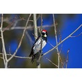 Acorn Woodpecker sizing up a meal.