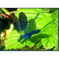 dragonfly nature animals wildlife France leaf summer insect
