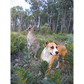 skippy kangaroo dog nature lost Australia