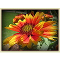 """Gaillardia"" or Indian Blanket flower.  Native to southwestern U.S. I think.  These grow in clump..."