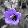 bee black white semicoloured purple flowers croxteth hall gardens liverpool