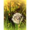 korni nature flowers blowball