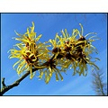 witch hazel toverhazelaar
