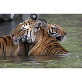 Tigers in water Bandhavgarh