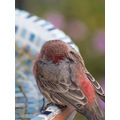 birds housefinch