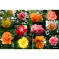 collage of all the roses