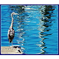 reflectionthursday great blue heron
