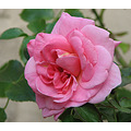 Rose Canon Powershot S3 IS