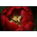 stlouis missouri us usa plant flower tulip red macro 2007