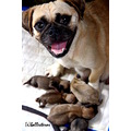 motherhood tender loving care pug puppies