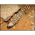 One of two Gila Monsters we found last night.