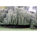 tree weeping willow green park