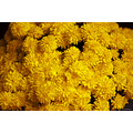 stlouis missouri us usa plant flower carnation macro yellow 2006