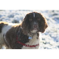 Snow Dog Frost Springer Spaniel Pet