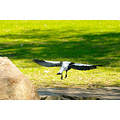 bird aussie magpie kings park perth litttleollie