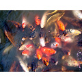 koi fish water