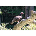 Vulture type buzzard.  This was one of 5 birds that had some interest in the dead animal on the g...