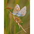 common blue butterflies braunton burrows devon romanticfriday