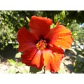 Hibiscus flower Crete red