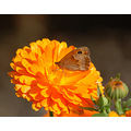 compftorange meadow brown butterfly marigold