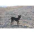 pet dog beach pacfic ocean