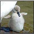 cute cygnet swan baby bird nature somerset carlsbirdclub somersetdreams