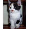 cat pet kitten Baby valerius