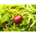 berry red moss nature