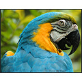 stlouis missouri us usa zoo animal bird BlueYellow Macaw 2007
