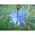pretty blue flower.  Chicory?