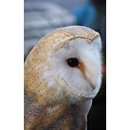 animal barnowl