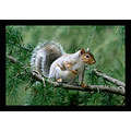 Squirrel deodar