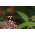Waxwing Butterfly moth