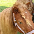 horse pony carriage ride