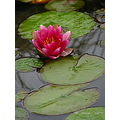 pond lilly flower