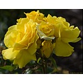 Roses Flowers Bunch Yellow Nature