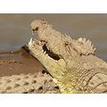 Africa Wildlife Nature Crocodile MasaiMara
