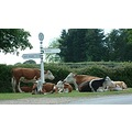 cattle animal NewForest England 2007 Hampshire Country