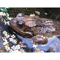nottingham toad