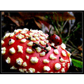mushrooms toadstools saffi9 Fly agaric