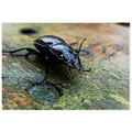 nature beetle