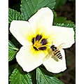 bee hover flower white insect padlex