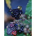 wasp fly blackcurrant
