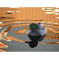 nallard duck reflections