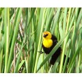 bird birds yellowheadedblackbird nature wildlife