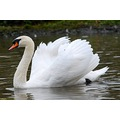 swan nature animal birds water wings nature